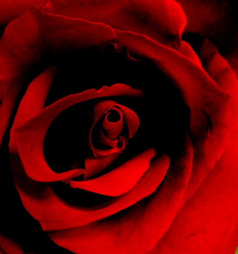 red rose and shadows