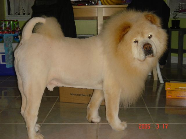 Popeye lion cut | Flickr - Photo Sharing!
