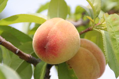 apricot, peach, branch, plant, damson, produce, fruit, food,