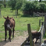 Donkey at Mouslimes, Vienne, France