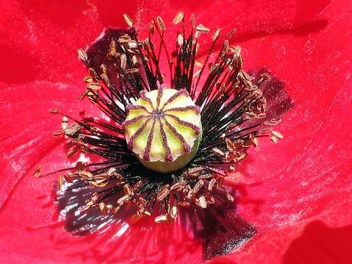 Heart of the Poppy I
