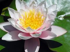 Water Lilies VI