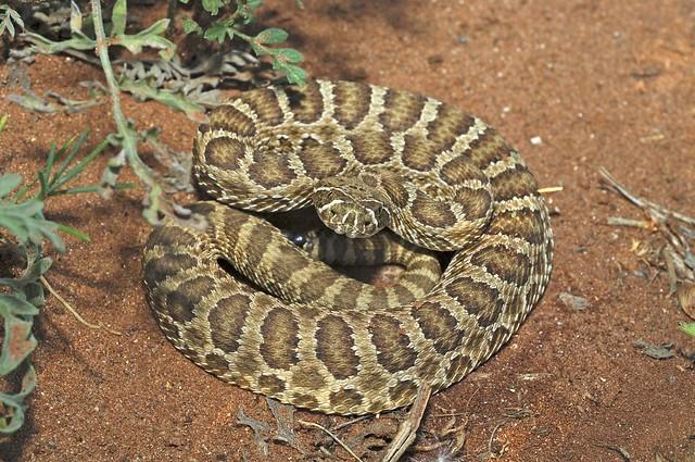 Prairie Rattlesnake Juvenile   Flickr - Photo Sharing!