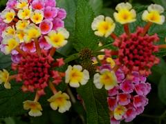annual plant, flower, plant, herb, wildflower, flora, lantana camara, petal,