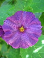 four o'clock flower(0.0), four o'clocks(0.0), annual plant(1.0), ipomoea violacea(1.0), flower(1.0), purple(1.0), plant(1.0), macro photography(1.0), flora(1.0), petal(1.0),