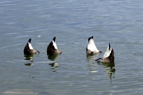 Bottoms Up!  Canada Geese Feeding Sunnyside Toronto