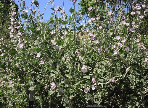 Arcuate bush mallow | Flower of the arcuate bush mallow ...