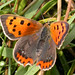 Small Copper, Beeston Common (Norfolk), 17-Jul-04