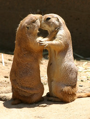 Prarie Dog Love, #2