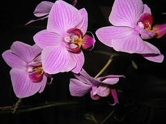cattleya labiata(0.0), cattleya trianae(0.0), eye(0.0), flower(1.0), purple(1.0), violet(1.0), plant(1.0), macro photography(1.0), laelia(1.0), phalaenopsis equestris(1.0), flora(1.0), moth orchid(1.0), pink(1.0), petal(1.0),