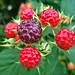 Small photo of Wild Raspberries