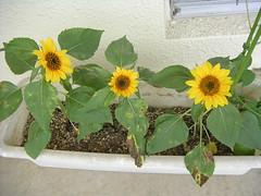 Sun Flower / ひまわり