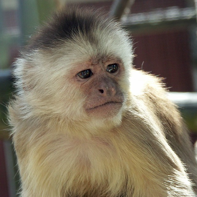 Facial appearance of white fronted capuchin