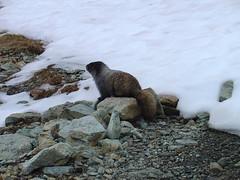 animal, winter, snow, fauna, marmot, wildlife,