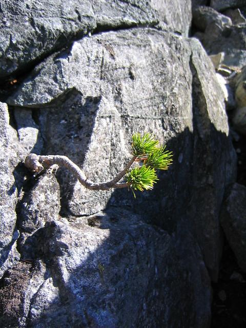 Bristlecone Pine Bonsai