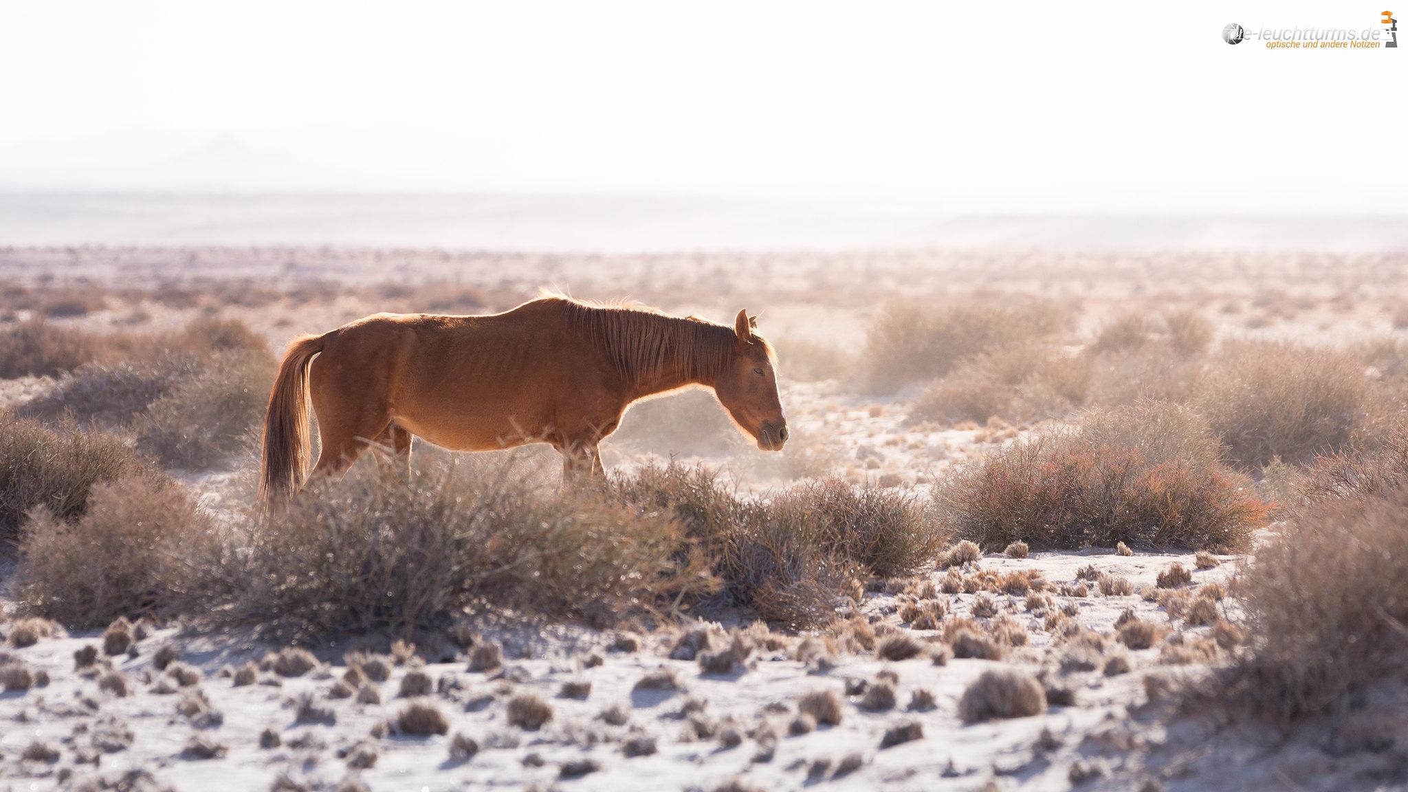 Namib Desert Horse