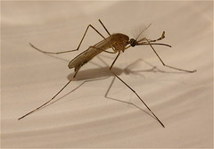 arthropod, animal, mosquito, wing, invertebrate, fauna, pest,