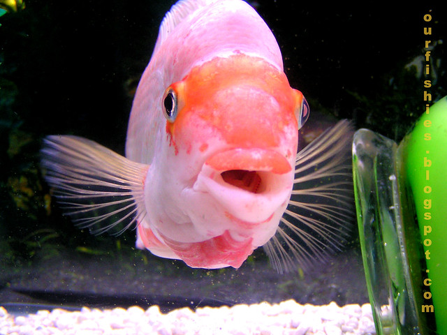 Red devil 39 s teeth flickr photo sharing for Red devil fish for sale
