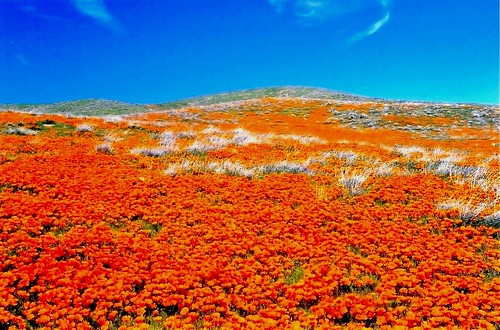 Antelope Valley poppies 2003