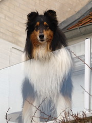 dog breed, animal, dog, pet, mammal, rough collie, collie, shetland sheepdog,