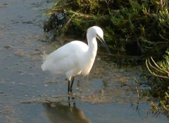 animal, fauna, great egret, heron, beak, bird, wildlife,