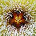 Stapelia glanduliflora flower Corona Macro by Martin_Heigan