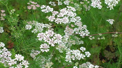 flower, cow parsley, cicely, plant, subshrub, anthriscus, meadowsweet, caraway,