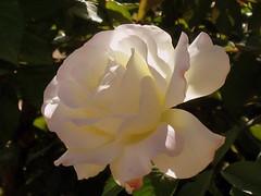 Spring Roses 2007