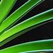 Amaryllis Stems Black by Jeff Clow