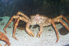 spiny lobster(0.0), seafood(0.0), dungeness crab(0.0), homarus(0.0), food(0.0), american lobster(0.0), crab(1.0), animal(1.0), freshwater crab(1.0), crustacean(1.0), marine biology(1.0), invertebrate(1.0), king crab(1.0), fauna(1.0),