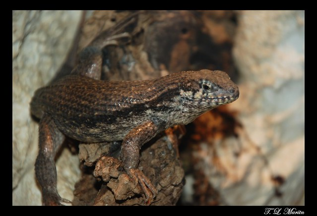 Bahama Curly Tail Lizard / Northern Curly Tail Lizard