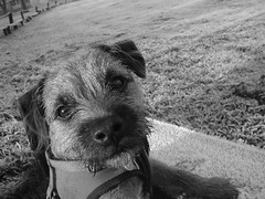 animal, dog, schnoodle, pet, mammal, monochrome photography, border terrier, monochrome, black-and-white, black, terrier,