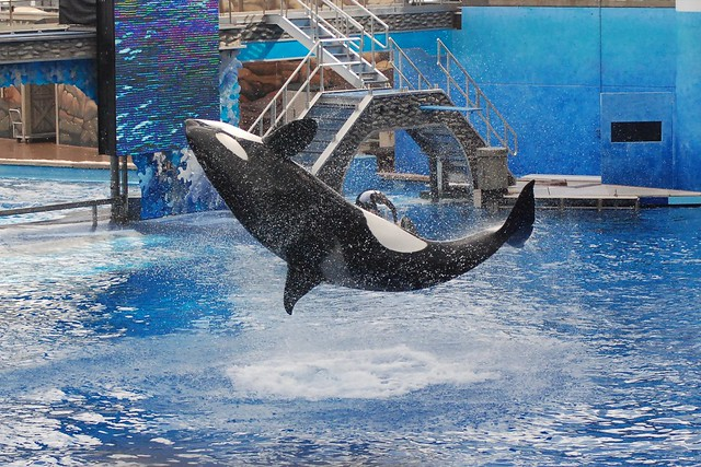 Photo of SeaWorld Orca Show
