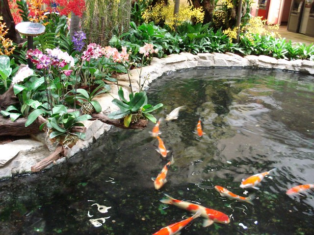 Koi Fish at Changi