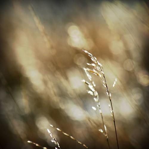 holga montana bokeh wheat vignette abigfav ©tylerknottgregson