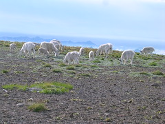 Mountain Goats at First Burroughs Mountain