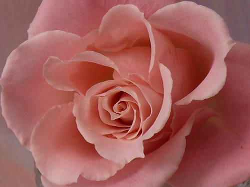 Portrait of a Pink Rose