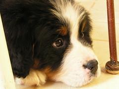 puppy(0.0), dog breed(1.0), animal(1.0), dog(1.0), pet(1.0), mammal(1.0), bernese mountain dog(1.0),