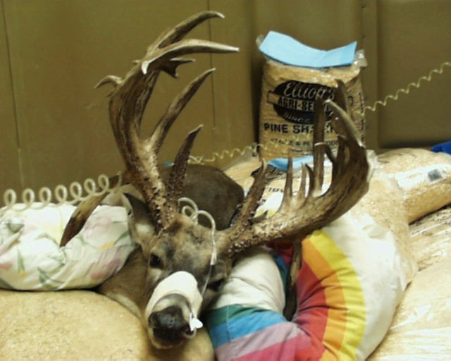 Funny Whitetail Deer Picture Hospital