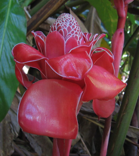 red flower flora rainforest honeymoon interior large huge tahiti zingiberaceae nonnative frenchpolynesia torchginger manypetals phaeomeriamagnifica etlingera gingerflower gingerplant etlingeraelatior firsttheearth