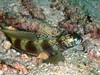 Metallic Shrimp Goby - Surin Islands, Thaialnd
