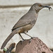 Curve-billed Thrasher - Photo (c) Tony Morris, some rights reserved (CC BY-NC)