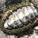 Chitons - Photo (c) Stephanie Sicore, some rights reserved (CC BY)
