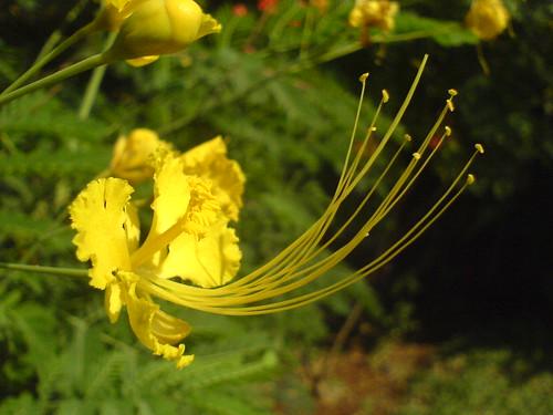 Caesalpinia pulcherrima var. flava