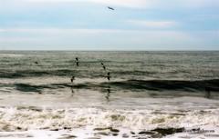 Gulls Skimming