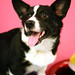 Dog - Cardigan Corgi IMG_0340
