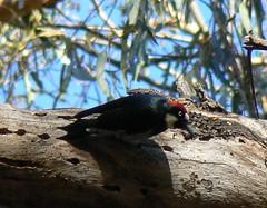 animal, branch, nature, fauna, woodpecker, beak, bird, wildlife,