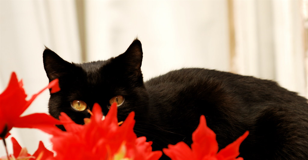 The black cat and the red flowers