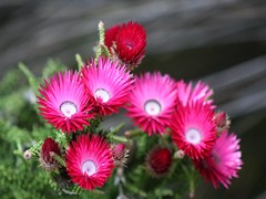 daisy(0.0), daisy(0.0), dorotheanthus bellidiformis(1.0), annual plant(1.0), flower(1.0), plant(1.0), macro photography(1.0), flora(1.0), floristry(1.0), ice plant(1.0), pink(1.0), petal(1.0),