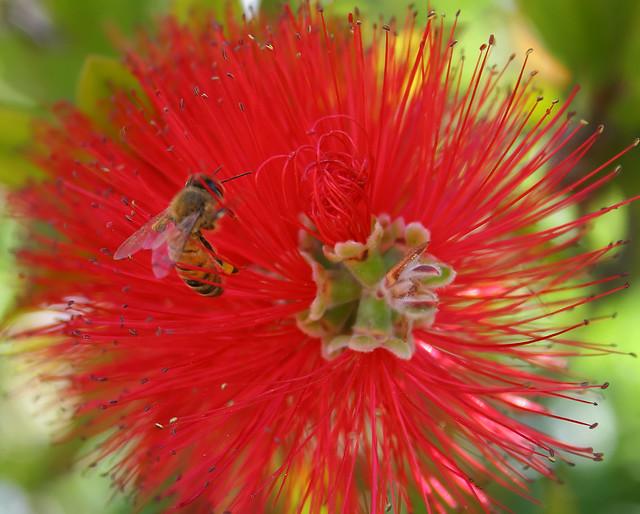 Abeja en rojo bee in red del jard n de margarita for Ahuyentar abejas jardin